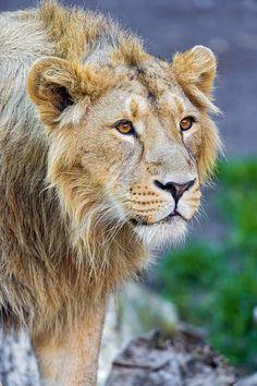 Beutiful young lion - (CC)Emmanuel Keller (Tambako the Jaguar) - www.flickr.com/photos/tambako/8161991713/in/photostream#