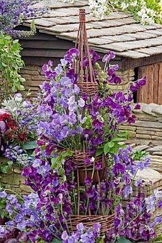 Sweet peas climbing an obelisk .check web sites for purple sweet pea seeds. Purple Flowers, Beautiful Flowers, Simply Beautiful, Jardin Decor, Purple Garden, Garden Cottage, Plantation, Garden Styles, Dream Garden