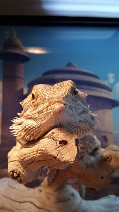 Sweet bearded dragon bb