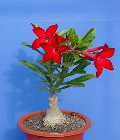 Potted flowers: Adenium obesum (Desert Rose)