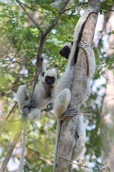 Madagascar, Lémuriens Sifaka