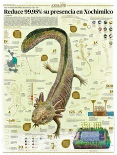 Axolote, an endangered species Science Art, Science And Nature, Animals For Kids, Animals And Pets, Biology Art, Underwater Creatures, Information Graphics, Mundo Animal, Reptiles And Amphibians