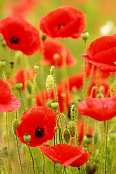 poppies- remind me of the ones my father grew