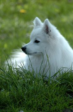 Japanese spitz one of my favourite dog breeds Miniature American Eskimo, American Eskimo Puppy, Spitz Breeds, Dog Breeds, Animals And Pets, Funny Animals, Cute Animals, Samoyed Dogs, Pet Dogs