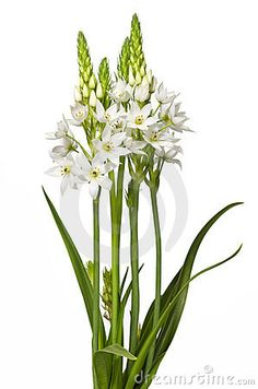 Chincherinchee