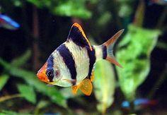 Ejemplos de peces tropicales de agua dulce caliente: Barbo Sumatrano (Capoeta Tetrazona