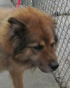 Meet 01 Shaq a Petfinder adoptable Collie Dog | Canton, OH | UPDATE 4/28.  Just found out today that Shaq was an owner surrender!!!  He is known to be 10 years...