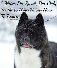 Beyond Washing The Dog Akita Puppies For Sale, Dogs And Puppies, Doggies, Havanese Puppies, Japanese Akita, Japanese Dogs, Beautiful Dogs, Animals Beautiful, Big Dogs