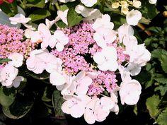 Tellerhortensie / Gartenhortensie 'Lanarth White' - Hydrangea macrophylla 'Lanarth White'