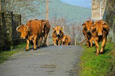 Vaca Rubia galega