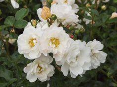 To multiply roses: That's how easy it is - Garten - Orchideen Growing Plants, Flower Beds, Garden Styles, Hedges, Garden Planning, Garden Paths, Flower Power, Design Elements, Beautiful Flowers