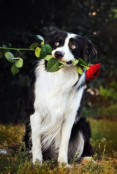 Posed but ridiculously sweet Border Collie with long-stemmed rose in its mouth #dogs