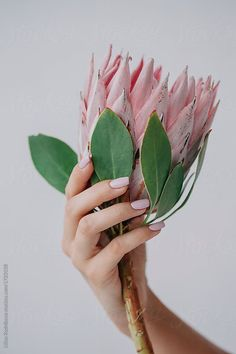 Crop female's hand holding protea flower on white background by Liliya Rodnikova - Stocksy United Hand Holding, Hands Holding Flowers, Hand Flowers, Holding Hands, Flor Protea, Protea Flower, Photo Main, Hand Pose, Hand Photography