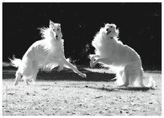 Borzoi ballet! It is absolutely MAGICAL to watch they way they move. Mesmerizing!.