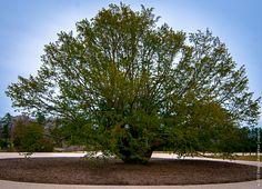 A big tree in Longwood Gardens