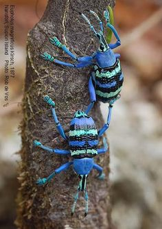 True Weevils of Papua Indonesia (Eupholus magnificus) ~ By Rob de Vos --- so pretty! I love weevils. Well not actually a sock animals, would lend it's self well to imitation. Cool Insects, Bugs And Insects, Beautiful Creatures, Animals Beautiful, Cool Bugs, A Bug's Life, Beetle Bug, Blue Beetle, Beautiful Bugs