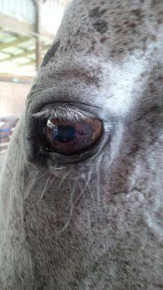 The eyes are truly windows to the soul.   Flea-bitten grey
