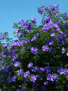 Blue Hibiscus, Shane, Sun, Shrub: 5-8ft High, W 3-8 ft, hardy to 25F, blooms spring - fall