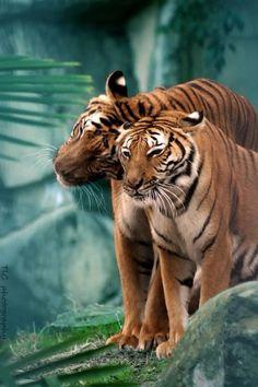 Tiger love … my favorite animal around the world - My Cats - Happy cats Nature Animals, Animals And Pets, Cute Animals, Wild Animals, Baby Animals, Beautiful Cats, Animals Beautiful, Tiger Love, Majestic Animals