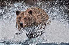 Grizzly Bear Running in the Water Acrylic Painting - Brian Sloan Artist Wildlife Decor, Wildlife Art, Stretched Canvas Prints, Canvas Art Prints, Bear Paintings, Thing 1, Landscape Artwork, Bear Art, Realism Art