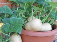 Como cultivar zapallos en casa - Taringa!