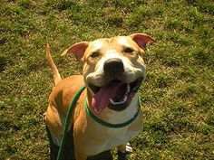 Positively Pitties - Dane County Humane Society features an extensive pit bull education program to help create human and dog ambassadors