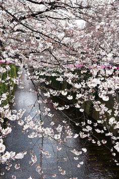 The cheery blossom season has started in Tokyo