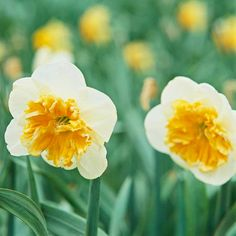 Nothing is quite as pretty as blooming daffodils! If you're getting a head start on your garden planning, we have 12 bulb ideas that deer and rabbits don't eat: http://www.bhg.com/gardening/flowers/bulbs/beautiful-bulbs-deer-and-rabbits-dont-eat/?socsrc=bhgpin021014daffodil