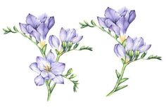 This product includes high quality hand drawn botanical watercolor freesia flowers, bouquets, flower compositions. Watercolor Artists, Watercolor Drawing, Watercolor Illustration, Watercolor Flowers, Watercolor Paintings, Flower Art Drawing, Plant Drawing, Fresia Flower, Flower Tattoos