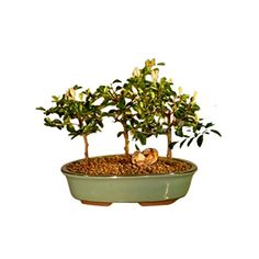Gardening  Bonsaiboy Flowering Lavender Star Flower Bonsai 3 Tree Forest Group Grewia Occidentalis * Find similar gardening products by clicking the image