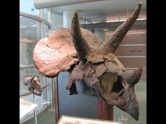 A Modern Day Dinosaur Extinction. During the Cretaceous, dome-headed pachycephalosaurs roamed through what is now the Hell Creek Formation, covering parts of Montana, Wyoming, and North and South Dakota. But UCMP Curator Mark Goodwin and Museum of the Rockies Curator Jack Horner argue that there were fewer pachycephalosaur species than we thought. Subjects: Paleontology, dinosaurs.   Length: 6:38
