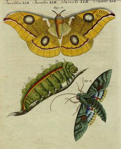 1790 Hand-Colored Engraving: Bertuch SILK MOTH, Exquisite Hand Color, Rare