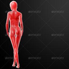 3d Rendered Illustration Of The Female Anatomical Anatomy Artwork