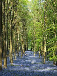 Bluebell Woods in Ashridge Park, Hertfordshire, England especially for Kim