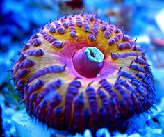 Show me your ultra ultra ultra LPS pieces! - Page 10 - Reef Central Online Community Coral Reef Aquarium, Marine Aquarium, Coral Reefs, Marine Tank, Marine Fish, Saltwater Tank, Saltwater Aquarium, Salt Water Fish, Salt And Water