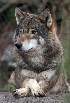 Imagem gratis no Pixabay - Lobo, Jardim Zoológico, Canis Lupus Beautiful Wolves, Animals Beautiful, Cute Animals, Beautiful Creatures, Wolf Photos, Wolf Pictures, Wolf Love, Tier Wolf, Canis Lupus