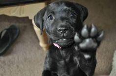Black Labrador Retriever Love those big paws! Black Lab Puppies, Cute Puppies, Dogs And Puppies, Doggies, Adorable Dogs, Funny Dogs, Funny Animals, Cute Animals, Baby Animals