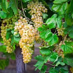 Triumph Muscadine Grapes on Fast Growing Trees Nursery Fast Growing Trees, Growing Grapes, Grapevine Growing, Grape Trellis, Make Your Own Wine, Gardening Zones, Gardening Hacks, Starting A Vegetable Garden, Aquaponics System