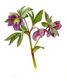 Helleborus x hybridus. purple 2013 Watercolor Pencil Art, Watercolor Flowers, Plant Illustration, Botanical Illustration, Botanical Flowers, Botanical Prints, Ikebana, Plant Painting, Botanical Drawings