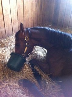 #Exaggerator had the habit of eating while lying down.