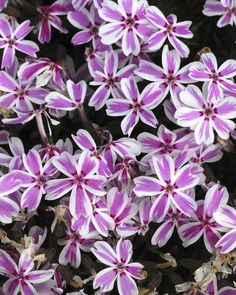 Creeping Phlox - GoodHousekeeping.com