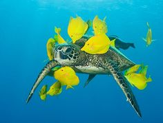 Real Life Turtle surrounded by Yellow Fishes