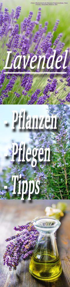 Lavendel weckt Erinnerungen an den letzten Urlaub in Südfrankreich. Der Zwergstrauch verträgt Trockenheit und ist auch mit sandigem Boden zufrieden – kein Wunder, dass er unter Hobbygärtnern schon immer ein Renner war. Holen Sie sich den Duft der Provence in Ihren Garten!