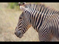 Zebra Samburu