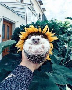 Sunflower Hedgie