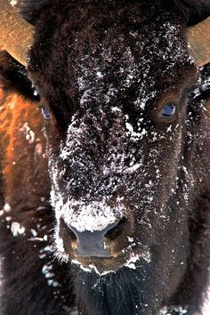 Bison  Photo by Ron Hayworth -- National Geographic Your Shot