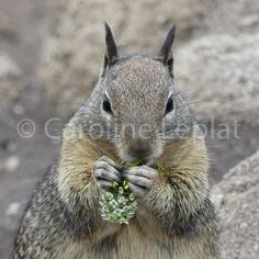 Cute ground squirrel at Lovers' Point in California, USA