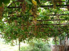 Grapes=wine=happy