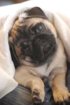 "Explore our site for additional info on ""black pugs"". It is a great area to learn more. Cute Pugs, Cute Puppies, Funny Pugs, Black Pug Puppies, Pugs And Kisses, Baby Pugs, Pug Love, Cute Baby Animals, Animals Dog"