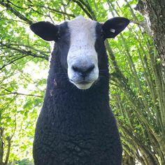 Dorset Sheep, Goats, Animals, Animales, Animaux, Animal, Animais, Goat